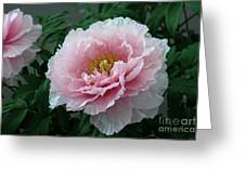 Pink Peony Flowers Series 2 Greeting Card