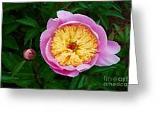 Pink Peony Flowers Series 4 Greeting Card