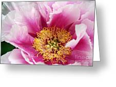 Pink Peony Flowers Series 8 Greeting Card