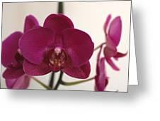 Pink Phalaenopsis Orchid  Greeting Card