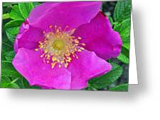 Pink Portulaca Greeting Card