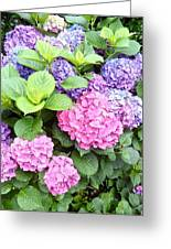Pink Purple Hydrangeas Greeting Card