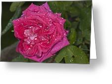 Pink Rose Wendy Cussons With Raindrops Greeting Card