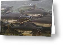Pink Salmon Oncorhynchus Gorbuscha Greeting Card