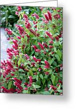 Pink Shrimp Plant Greeting Card