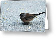 Pink-sided Junco Greeting Card