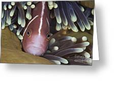 Pink Skunk Clownfish In Its Host Greeting Card