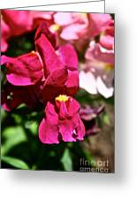 Pink Snap Greeting Card