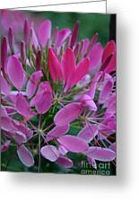 Pink Spider Flower Greeting Card