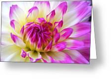 Pink Tinged Dahlia Greeting Card