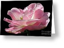 Pink Tulip Isolated Greeting Card