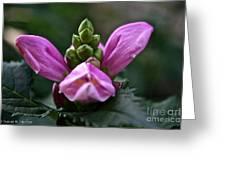 Pink Turtlehead Greeting Card