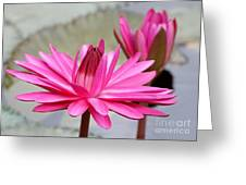 Pink Water Lily Duo Greeting Card