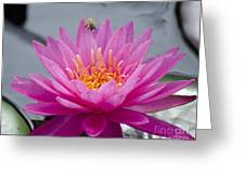Pink Water Lily Rose Arey With Bee Greeting Card