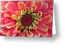 Pink Zinnia Macro Greeting Card