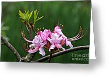 Pinxterbloom Azalea  Greeting Card