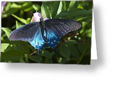 Pipevine Swallowtail Din003 Greeting Card