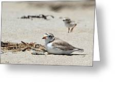 Piping Plover Mom And Two Babies Greeting Card