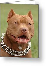 Pitbull Red Nose Dog Portrait Greeting Card