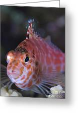 Pixy Hawkfish, Kimbe Bay, Papua New Greeting Card