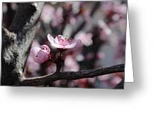 Plum Blossoms 9 Greeting Card