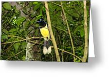 Plush-crested Jay Greeting Card