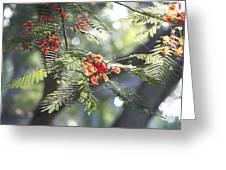 Poinciana Blossoms Close-up V2 Greeting Card
