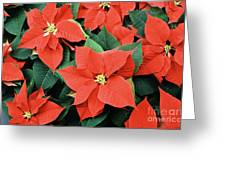 Poinsettia Varieties Greeting Card