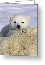 Polar Bear Cub Canada Greeting Card