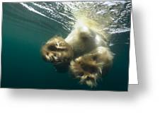 Polar Bear Swiming Away Wager Bay Canada Greeting Card
