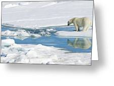 Polar Bear, Ursus Maritimus Greeting Card by Ralph Lee Hopkins