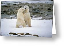Polarbears, Churchill, Manitoba Greeting Card