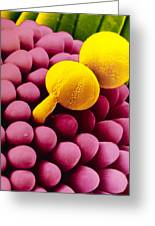 Pollen Germinating On Stigma Of Goosegrass Greeting Card