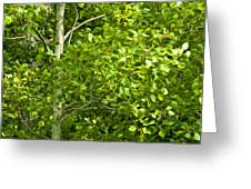 Poplar Tree And Leaves No.368 Greeting Card