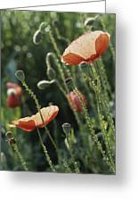 Poppies In A Field In Provence Greeting Card