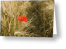Poppies  In A Field Of Barley   Greeting Card