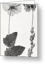 Poppy, 19th Century Artwork Greeting Card