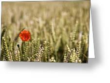 Poppy Flower In Field Of Wheat Greeting Card