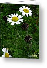 Poppy Pods And Daisy Petals Greeting Card