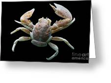 Porcelain Crab Greeting Card