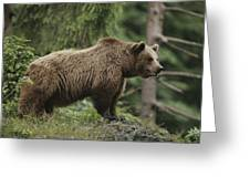 Portrait Of A Brown Bear Greeting Card
