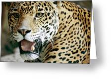 Portrait Of A Captive Jaguar Panthera Greeting Card