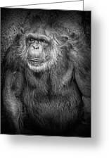 Portrait Of A Chimpanzee Greeting Card