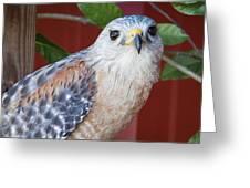 Portrait Of A Hawk Greeting Card