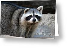 Portrait Of A Masked Bandit Greeting Card