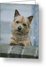 Portrait Of A Norwich Terrier Greeting Card