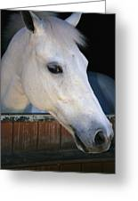 Portrait Of A White Horse Looking Greeting Card