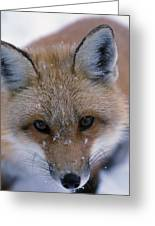 Portrait Of Adult Red Fox Greeting Card