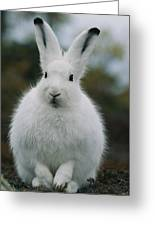 Portrait Of An Arctic Hare Greeting Card