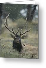 Portrait Of An Elk Or Wapiti Greeting Card by Norbert Rosing
